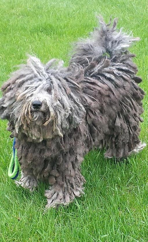 Prestige Puli Puli Puppies For Sale